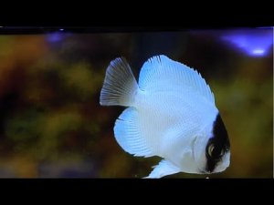 Conceal Angelfish