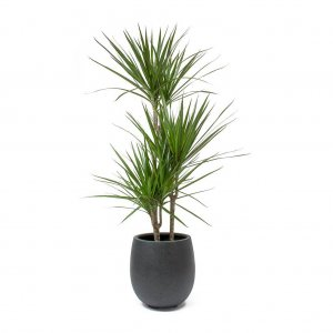 RED-EDGED DRACAENA OR DRAGON TREE